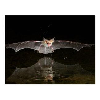 Bat drinking in flight, Arizona Postcard