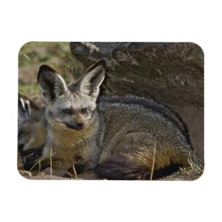 Bat-eared Fox, Otocyon megalotis, Masai Mara Rectangular Photo Magnet
