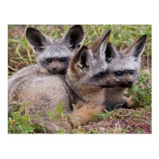 Bat-Eared Foxes, Serengeti National Park Postcard