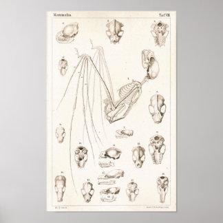Bat Skeleton and Skulls Veterinary Anatomy Print
