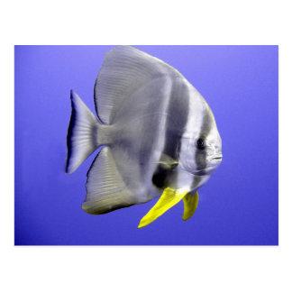 Batfish tropical exotic fish underwater postcard