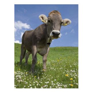 bavarian cow postcard