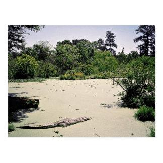 Bayou (swamp), Louisiana, USA Postcard