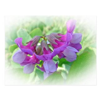 Beach Pea - Lathyrus japonicus - Wildflower Postcard