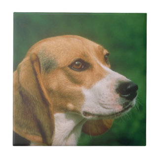 Beagle Dog Tile
