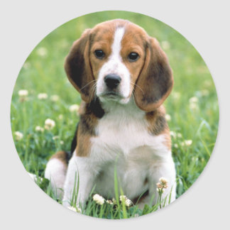 Beagle Puppy Classic Round Sticker