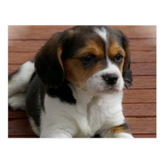 Beagle Puppy Dog Postcard