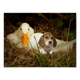 Beagle With Duck Poster