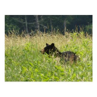 Bear in the Field Postcards