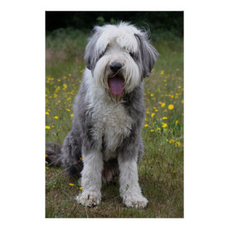 Bearded Collie dog photo poster, print, gift Poster
