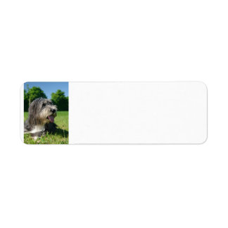 bearded-collie laying 2