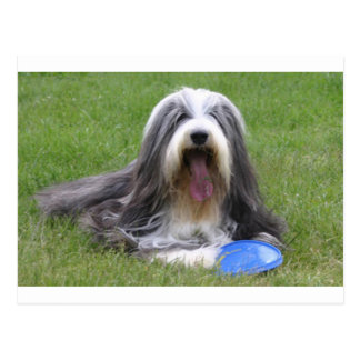 Bearded_Collie Postcard