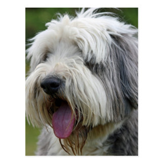 bearded collie postcard