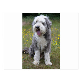 bearded collie sitting.png postcard