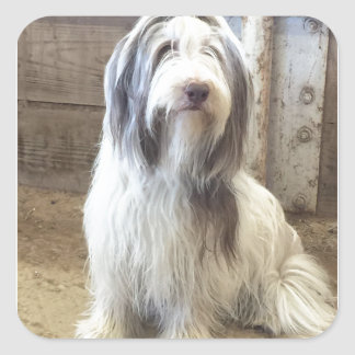 Bearded Collie Square Sticker