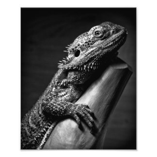 Bearded Dragon photographic poster