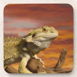 Bearded dragon (Pogona Vitticeps) on branch, Coasters