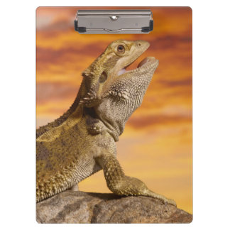 Bearded dragon (Pogona Vitticeps) on rock, Clipboard