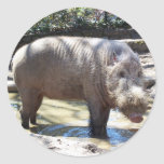 Bearded Pig Portrait Stickers