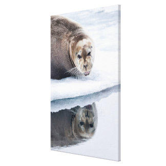 Bearded seal on ice, Norway Canvas Print
