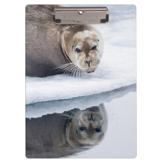 Bearded seal on ice, Norway Clipboards