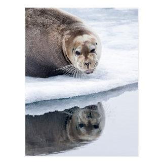Bearded seal on ice, Norway Postcard