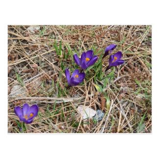 Beatiful Purple Mountain Iris 2 Postcard