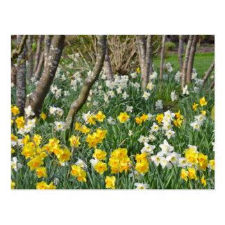 Beau jardin de jonquille de ressort carte postale