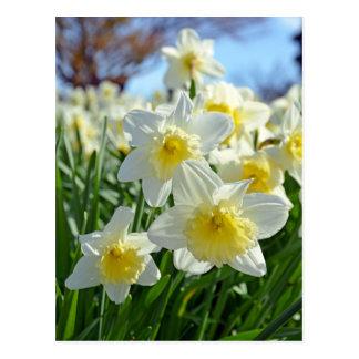 Beau jardin jaune et blanc de jonquilles carte postale