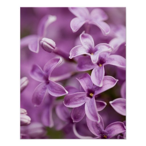 Beauté en nature - lilas pourpre posters