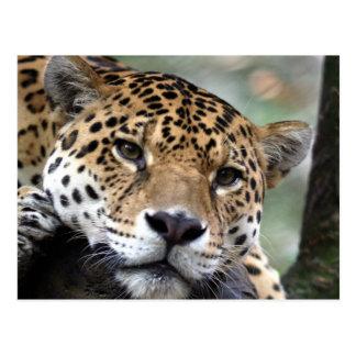 Beautiful Amazon jaguar Postcard
