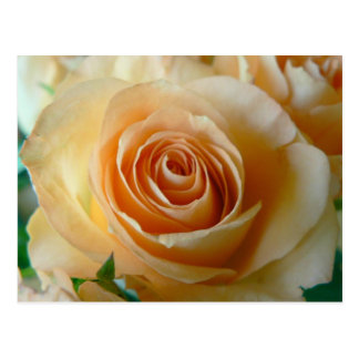 Beautiful Apricot  Rose Postcard