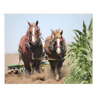 Beautiful belgian harness working horses photo print
