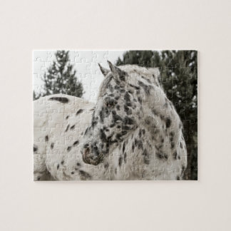 Beautiful Black and White Appaloosa Horse Jigsaw Puzzle