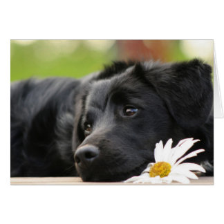 Beautiful Black dog and Daisy Design Card