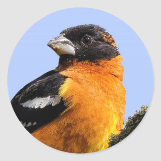 Beautiful Black-Headed Grosbeak in a Tree Classic Round Sticker