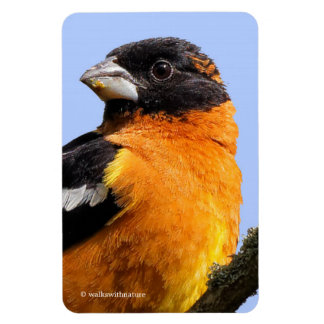 Beautiful Black-Headed Grosbeak in a Tree Magnet
