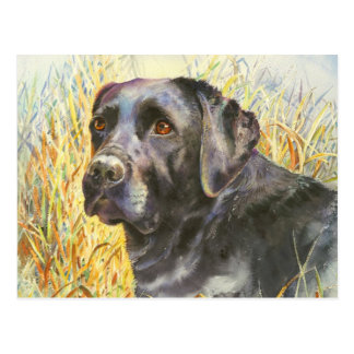 Beautiful Black Labrador Postcard
