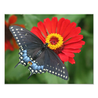 Beautiful Black Swallowtail Butterfly & Red Zinnia Photo Print
