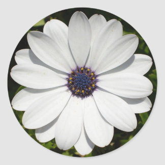 Beautiful Blossoming White Osteospermum Round Sticker