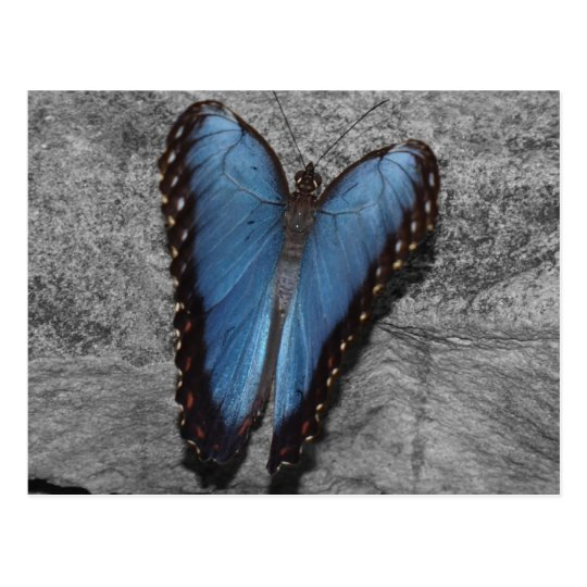 Beautiful Blue Butterfly Postcard