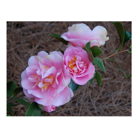Beautiful Camellia Postcard