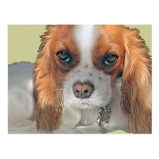 Beautiful Cavalier King Charles Abby Products Postcard