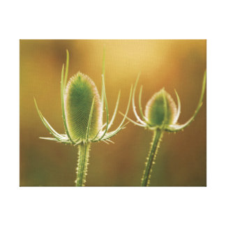 Beautiful close-up photo of teasel heads canvas print