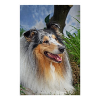 Beautiful Collie dog blue merle poster, print