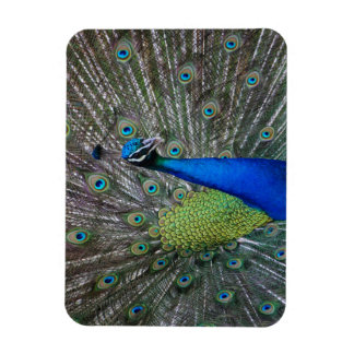"Beautiful Colorful Peacock 3"" x 4"" photo magnet"
