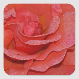 Beautiful coral rose blossoms square sticker