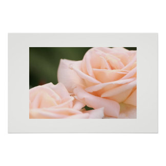 Beautiful Cream Roses Poster