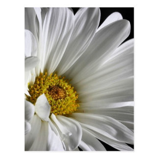 Beautiful Detailed Daisy Postcard
