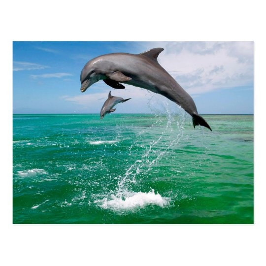 Beautiful Dolphins Postcard